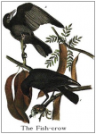 Fish-crow from Audubon's Birds of North America