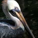 Cliff Dean Brown Pelican Palm Beach Zoo. This bird has a damaged wing that prevents it from diving for its food, so it is fed by hand regularly by zoo employees.  He is uncaged and roams the zoo grounds at will.