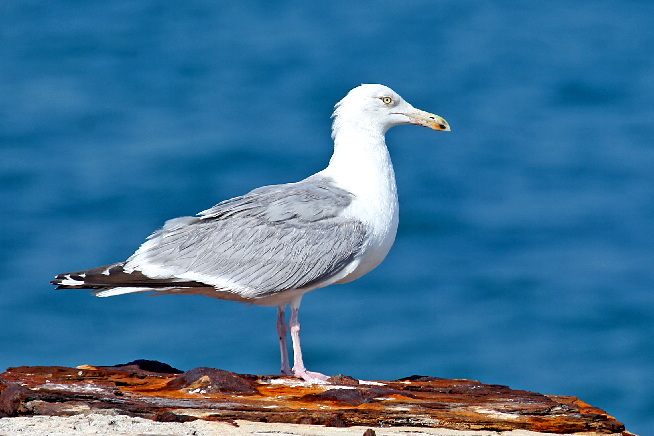 2012 December HERRING GULL Bird of the Month « Audubon ...