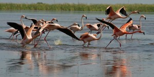 South Florida Water Management District flamingos in flight May 2014