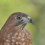 Broad-Winged Hawk by Anne DuPont