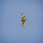 Broad-winged Hawk adult soaring by Paul Thomas characteristic pale wings with dark border and single white tail band