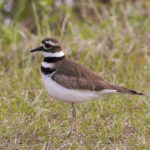 Killdeer at Loxahatchee NWR by Paul Thomas