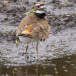 Killdeer at Peaceful Waters by Paul Thomas