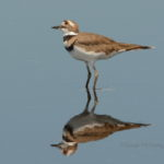 Killdeer by Susan McKemy