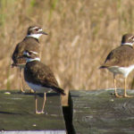Killdeer by Susan Young