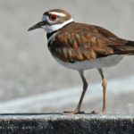 Killdeer by Susan Faulkner Davis