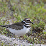Killdeer at Loxahatchee NWR by Larry Hess