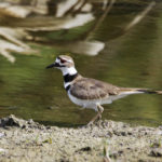 Killdeer at Riverbend Park by Larry Hess