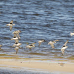 Black-bellied Plover, Short-billed Dowitcher, Semipalmated Plover at Snook Island Natural Area by Paul Thomas