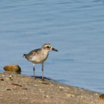 Black-bellied Plover at Ding Darling NWR by Larry Hess