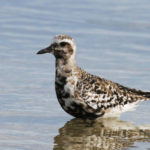 Black-bellied Plover at Ft Desoto, Transition Plumage, by Larry Hess