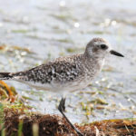 Black-bellied Plover at Ft Desoto, Winter Plumage, by Larry Hess