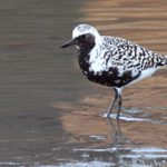 Black-bellied Plover by Paul Thomas