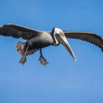 Brown Pelican by Paul Thomas