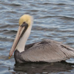 Brown Pelican adult Boynton Inlet by Anne DuPont
