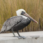 Brown Pelican by Walt Hackenjos