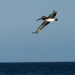 Brown Pelican by Lester Shalloway
