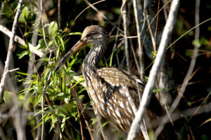 Limpkin by Lester Shalloway