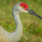 Adult Sandhill Crane at Indian River County Wetland by Paul Thomas