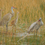 Pair of Sandhill Crane adults with their two colts at Okeeheelee Nature Center by Paul Thomas