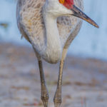Adult Sandhill Crane at Riverbend Park  by Paul Thomas