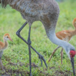 Adult Sandhill Crane with two colts at Peaceful Waters Sanctuary by Paul Thomas ( see captions)