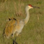 Sand Hill crane Lake Kissimmee  by Anne DuPont
