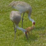 Sand hill cranes pair with colts at Wellington Fl by Anne DuPont