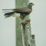 Banded male Everglades Snail Kite perched on pole with Apple Snail at Loxahatchee National Wildlife Refuge  by Paul Thomas