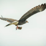 Banded male Everglades Snail Kite in flight with Apple Snail at Loxahatchee National Wildlife Refuge by Paul Thomas