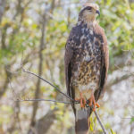 Frontal view of female Everglades Snail Kite perched at Joe Overstreet Landing on Lake Kissimmee by Paul Thomas