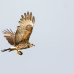 Everglades Snail Kite with Snail by Louis St-Arnaud