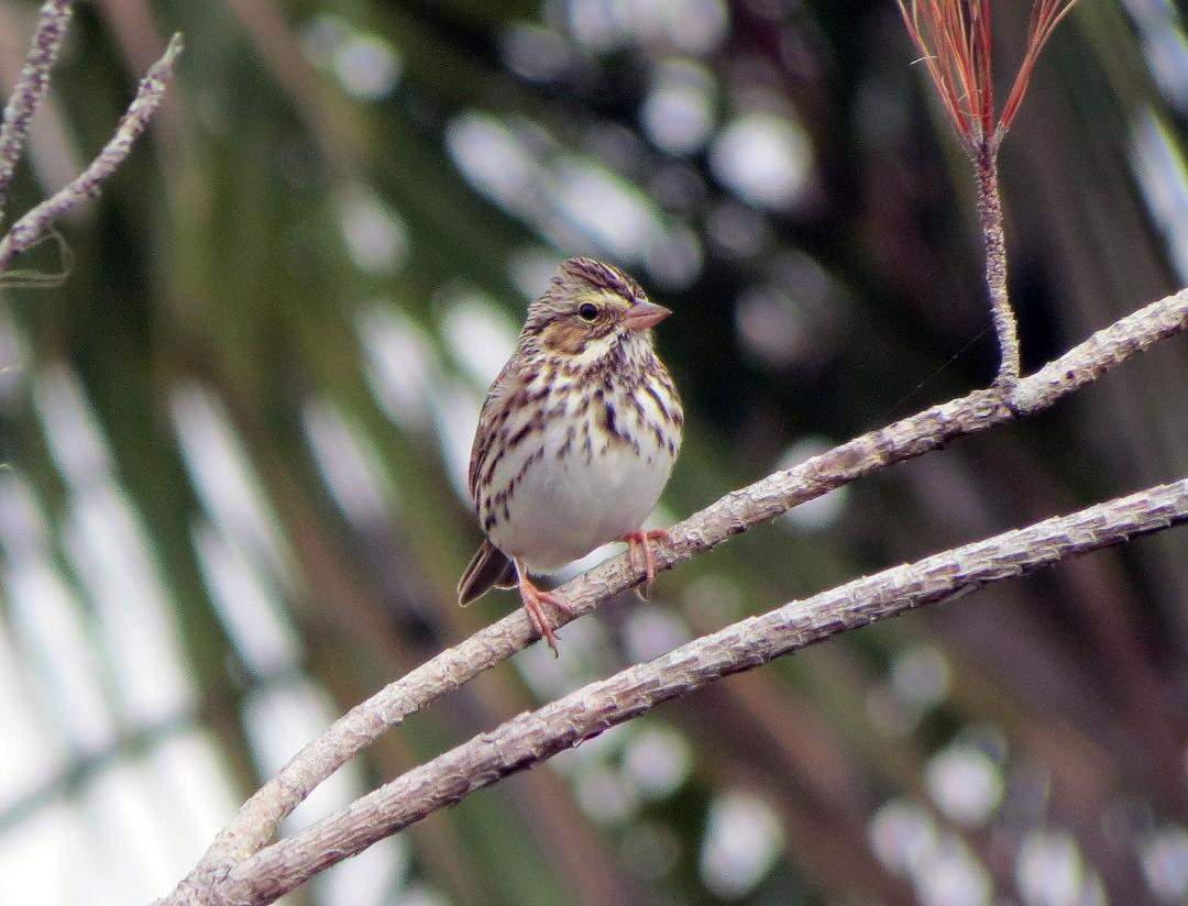 (c) Russ Martens 2016 all rights reserved, SAVANNAH SPARROW