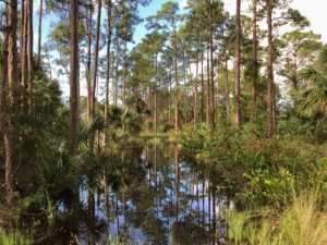 Royal Palm Pines Natural Area after Hurricane Irma