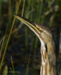 American Bittern. Photo by Don Mullaney.