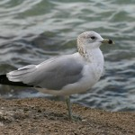 Larry Hess Ring-billed Gull (Non-breeding Plumage)