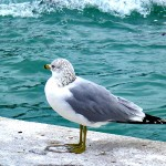 Joan Murname Ring-billed Gull on Boynton Beach shore