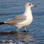 Walt Hackenjos Ring-billed Gull