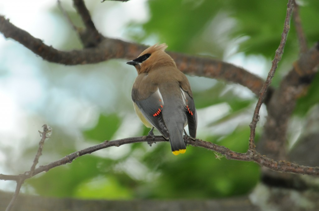 Cedar Waxwing by Bill Munro