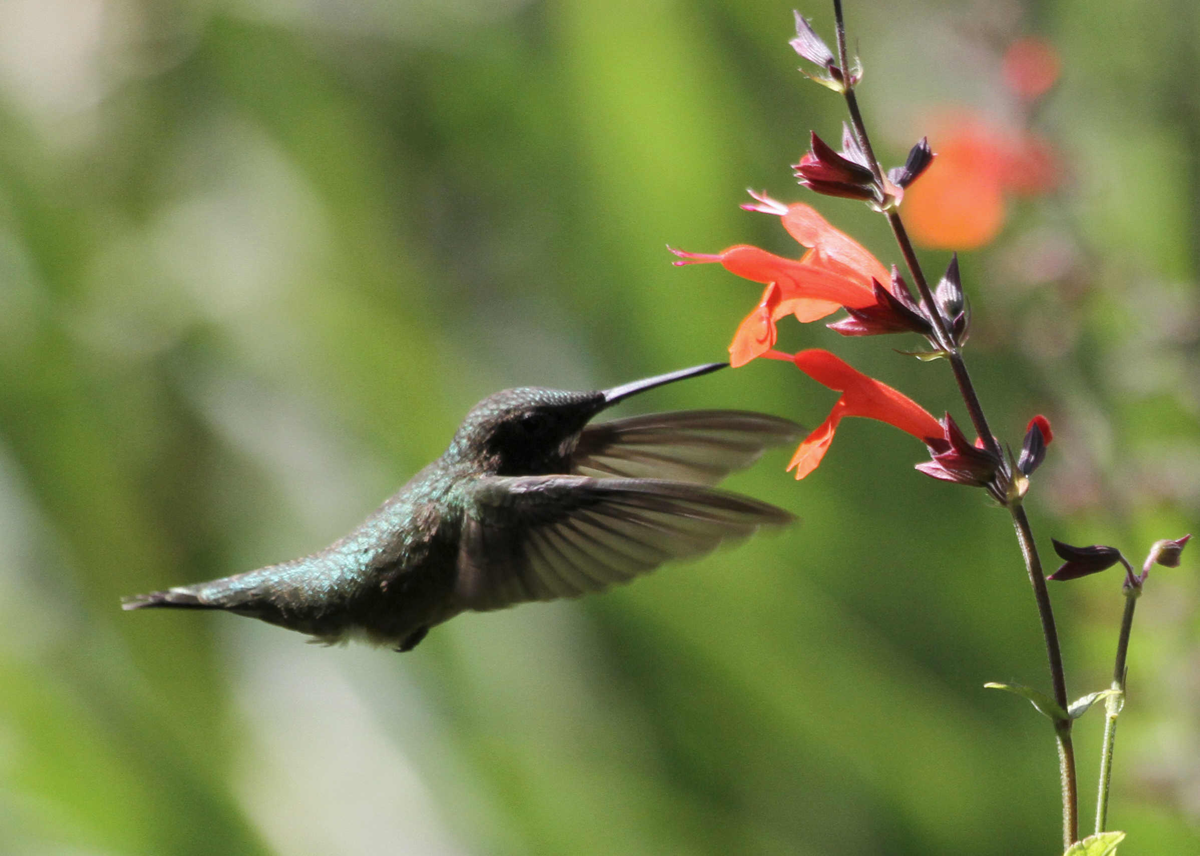 Archivo: Juvenile Masculino Ruby-throated Hummingbird.jpg - La enciclopedia libre