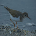 Spotted Sandpiper at Ding Darling NWR by Paul Thomas