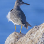 Spotted Sandpiper at Jupiter by Paul Thomas