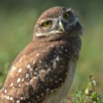 Burrowing Owl by Susan Faulkner Davis