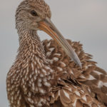 Adult Limpkin up close at Green Cay Nature Center by Paul Thomas