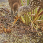 Juvenile Limpkin getting lesson from adult on how to extract Apple Snail from its shell at Wakodahatchee Wetlands  by Paul Thomas