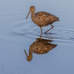 Adult Limpkin with reflection at Cypress Lake by Paul Thomas