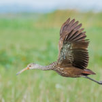 Adult Limpkin in flight at West Lake Tohopekaligia by Paul Thomas