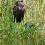 Limpkin by Jill Cline