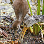 Limpkin, chick & Apple Snail by Walt Hackenjos